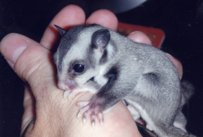 Baby Sugar Glider by carboardbox