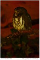Ferruginous Pygmy Owl my200th by In-the-picture