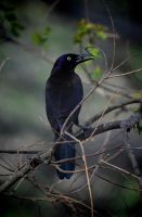 Just another Grackle by Tailgun2009