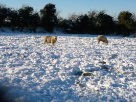 irish winter sheep by martinoreilly