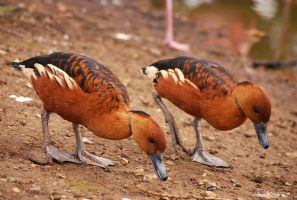 Fulvous Whistling Duck by quaddie