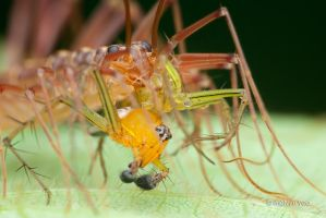 House centipede with lynx spider prey by melvynyeo