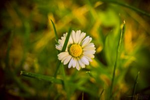 Chamomile by haxxy