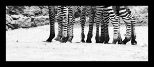 how many zebra in.... by lanetkedi