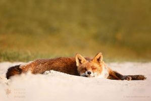 Lazy Fox is Lazy by thrumyeye