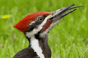 Red Crest by mostlymade