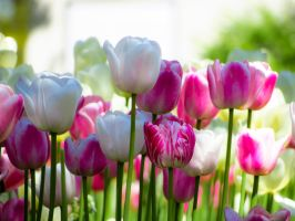 White and Pink Tulips by VividThorn