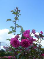 Pink Rose III by robynx13