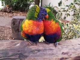 Rainbow Lorikeet 6 by TrixieCherry