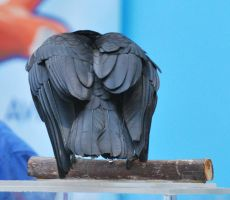 american crow 2.7 by meihua-stock