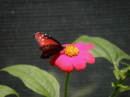 butterfly pic 2 by Nipntuck3