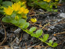 Creeping Jenny by Rainacornasusgirl