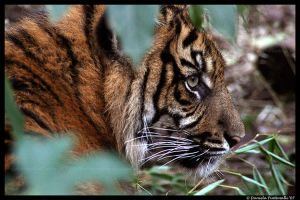 Baby Tiger: Hiding by TVD-Photography