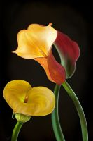 Tulips by victter-le-fou