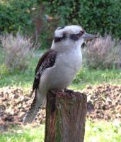 Kookaburra by ricken4003