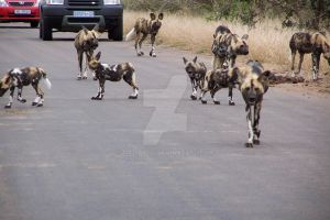African Wild Dog Pack 'shot 1' by Madiba127
