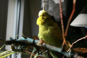 Budgie Bathing by SianaLee