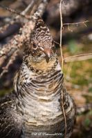 Ruffed Grouse II by sillverrfoxx