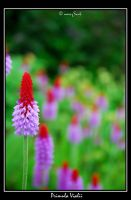 Primula vialii by miniSrah