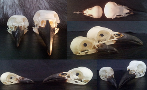 Magpie and crow skull by shinigami-taxidermy