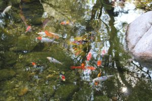 Baby Koi Reflections by meeks105