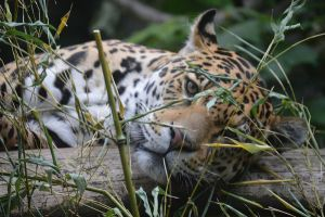 Lazy Leopard by fourteenthstar