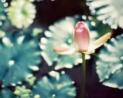 magic water lily. by magnesina