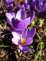Spring crocus IV by Xercatos