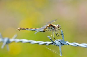 Dragonfly on a wire by Lydiie