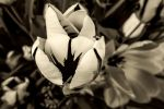 Flower BW by nigel3