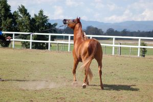 GE Arab chestnut head up view from behind by Chunga-Stock