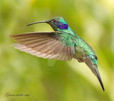 Tongues at the ready- Green-violet-ear hummingbird by Jamie-MacArthur