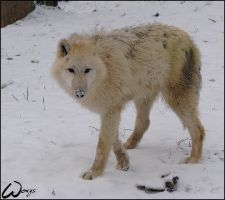 Arctic wolf has frozen nose by woxys