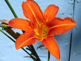 daylily by crazygardener