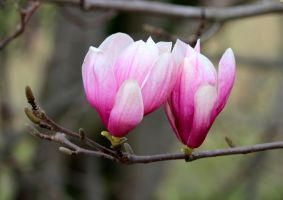 Magnolia Tulip Tree by swordedsaint