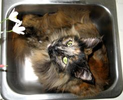 in sink kitty 4 by uberbechin