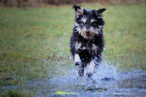 Wet Shaggy Dog! by ChaoticGang