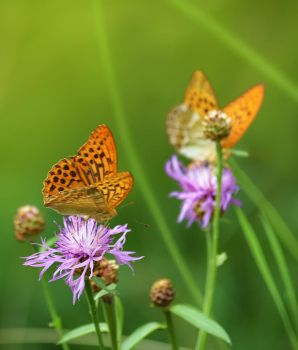 Silver-washed Fritillary by jeroenpaint