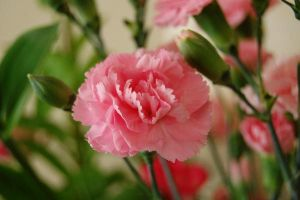 Carnation by Graphitation
