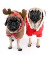 Cute Pugs, Isolated by dosecreative