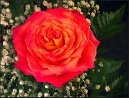 BRIGHT RED ROSE 11 by THOM-B-FOTO