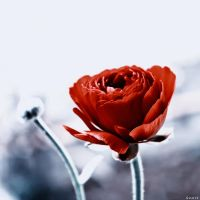 Red Ranunculus..