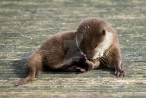 baby otter - awww no by photographybypixie