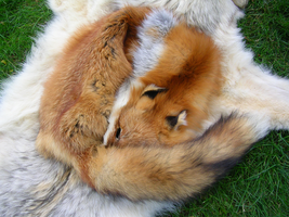 Red Fox Pelt - Miette by FossilFeather