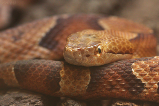 Copperhead by FriendFrog