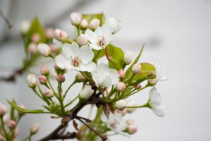 Pear flowers starting to bloom by taeliac