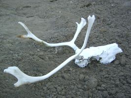Small caribou skull 4 by Arctic-Stock