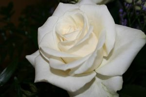 The White Rose by rzata