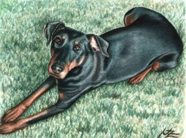 Dobermann by ArtsandDogs