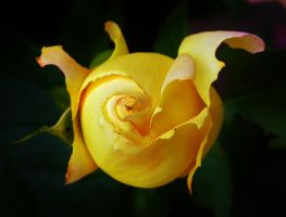 Yellow Rose by Stone1980